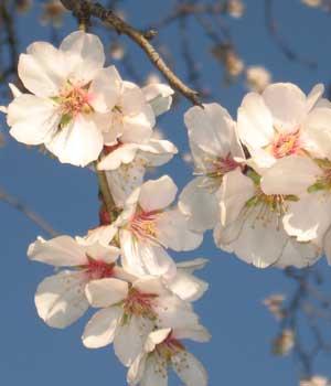 Mandelblomst, botanisk have, soller